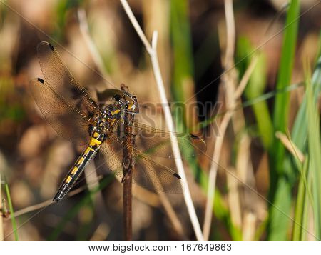 Yellow dragonfly with big eyes and transparent wings