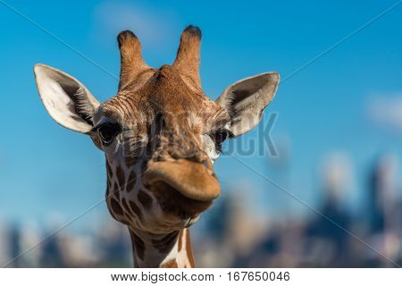Giraffe Making Sceptical Faces While Chewing Food