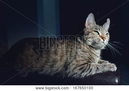 Beautiful cat on a dark background in the studio