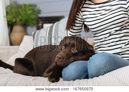 Loyalty is the best policy. Amazing sweet brown Labrador lying on his ladys lap while she sitting on a couch relaxing during her free time