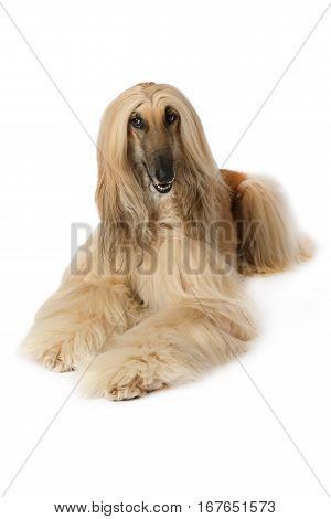 Purebred dog Afghan hound lying on a white background