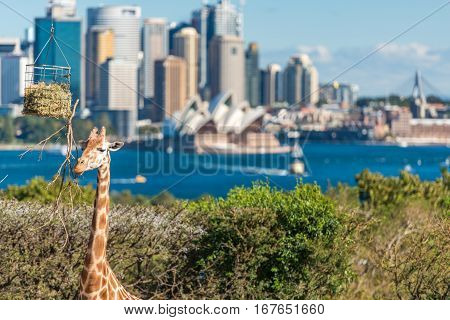 Cute Giraffes At Taronga Zoo With Views Of Sydney Harbour