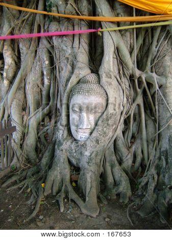 Rooted Buddha's Head