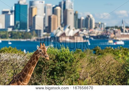 Young Giraffe Against Sydney Opera House On The Background