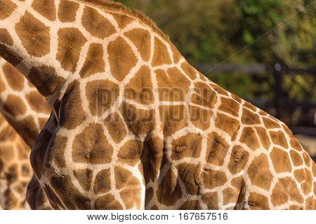 Geometric Patterns Of Giraffes Skin