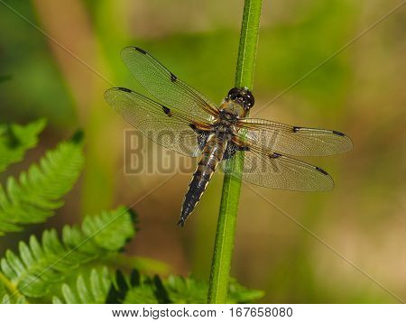 Dragonfly with transparent wings with green background