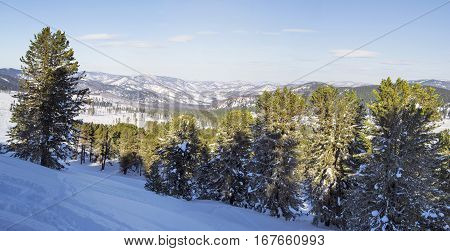Winter landscape. Panorama of Altai Mountains. Cedar forest Siberian cedar forest, snowy winter, the shade of trees. Panorama HDR.