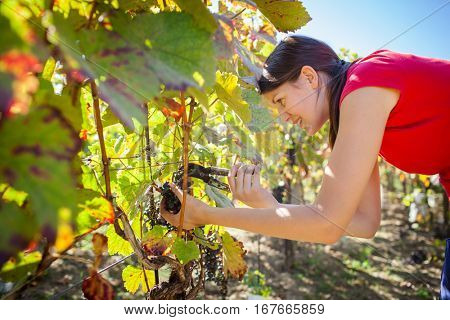 Grapes in a vineyard being harvested by a female vintner (color toned image)