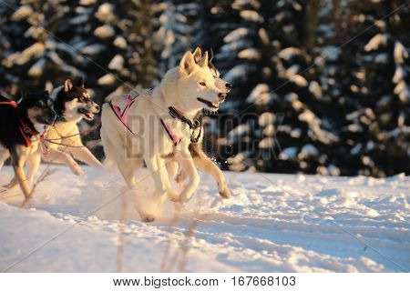 Winter sled dog race in the wonderful winter landscape. Winter Sled dog racing on the circuit.