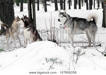 Working Husky sled working in a team. Siberian dogs driven sleigh people in the North. Animals active dog sports at work in the winter.