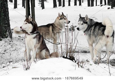 Working Husky sled. Siberian dogs driven sleigh people in the North. Animals active dog sports at work in the winter.