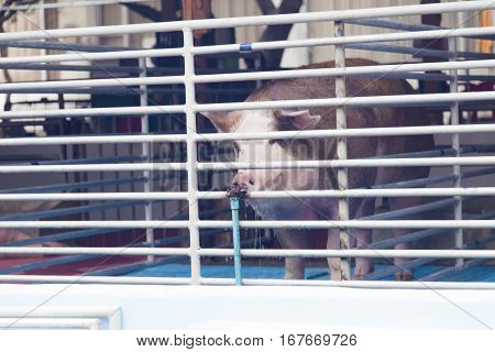 Pigs in a cage drink water from a drinking bowl