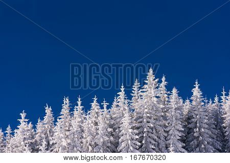 Winter background for design. Spruce forest in the snow. Clear blue sky on a sunny day