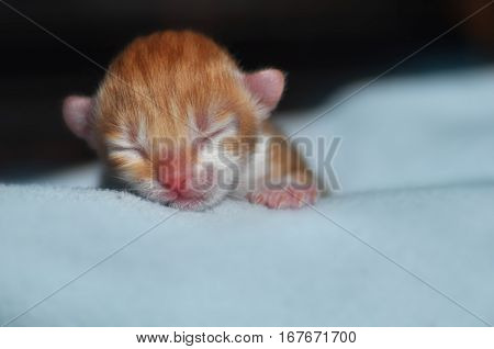 sleeping lovely ginger cat/kitty, pet portrait, tired young tomcat