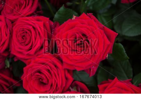 a lot of red roses a nice background