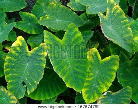Colocasia plant, Elephant ear, Cocoyam, Dasheen, Eddoe, Japanese taro