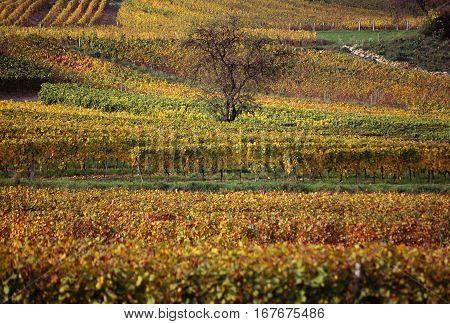 Vineyards landscape autumn orange and yellow in Savoy France