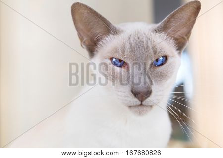 Adult Lilac point Siamese cat in hanging bed