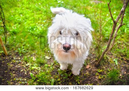 west highland terrier dog westie white domestic