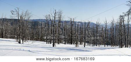 Dry trees. Snowy winter. Panorama of Altai Mountains