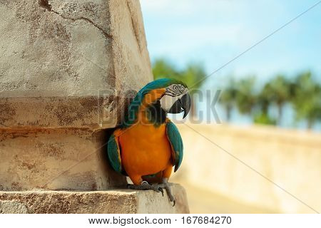 Cute parrot or macaw bird with blue and yellow feathers plumage sits on cement column on sunny summer day outdoors on blurred natural background