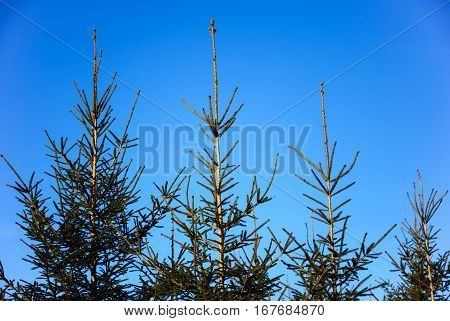 Growing young spruce tree tops at a clear blue sky