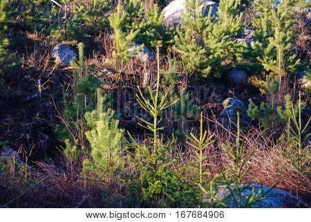 Plantation in a forest with growing pine and spruce tree plants