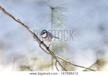Perched and attentive Blue Jay making eye contact
