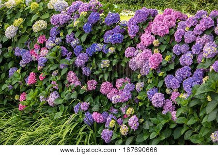 Flowers and green leaves. Purple and pink hydrangeas. When beauty blossoms.