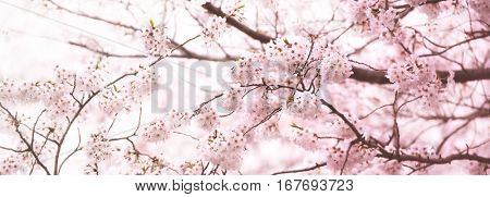 Cherry blossom, title bar or header background. Made in horizontal long dimension, for easy use in headers.