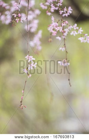 Beautiful spring cherry blossom with flower buds, early spring soft pastel green background. Shallow depth of field.
