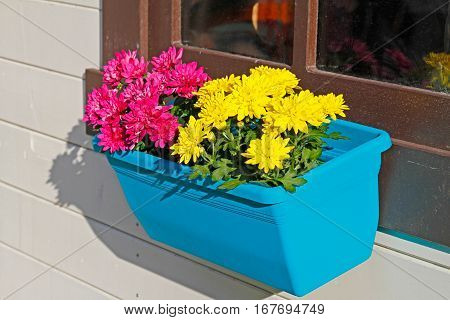 Pink and yellow chrysanthemums in blue flowerpot close-up