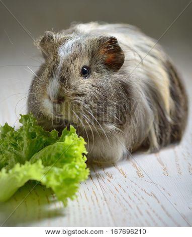 brown guinea pig and salad leaf, close up