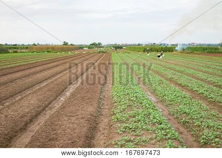 Vegetable Plots On Agriculture Field In Suburbs Of Hanoi, Vietnam