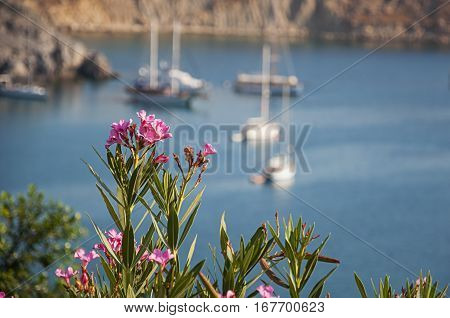 Beautiful flower oleander with sea and yacht in the background