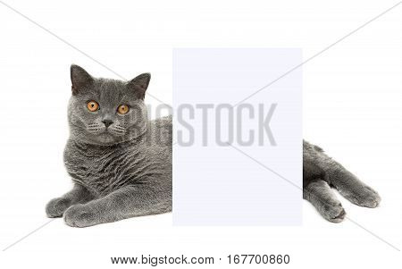 cat lies behind a banner on a white background. horizontal photo.