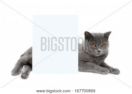 gray cat lies behind a banner on a white background. horizontal photo.