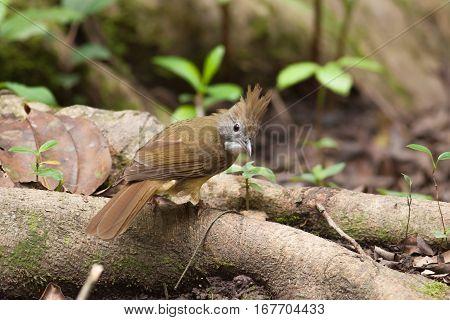 The bulbul bird seek a food on the tree root