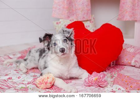 Australian Shepherd (aussie ), 3 Months Old, Sitting Against Pink Decoration