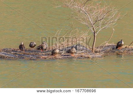 Group of ducks preening on a man made island in the middle of a river