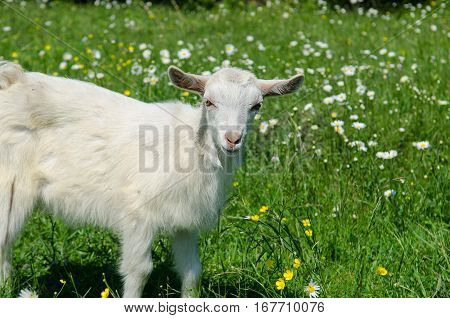 A goat kid on a green grass. A goat kid on a flowered lawn.