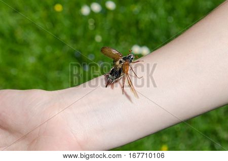 A chafer on somone's arm. The insect bug chafer. poster