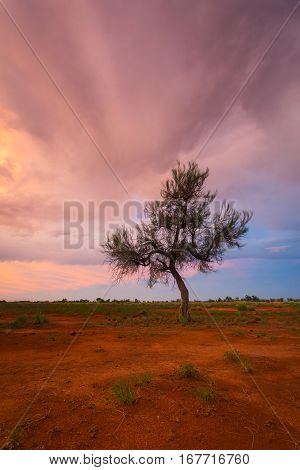 A Hakea tree stands alone in the Australian outback - Pilbara region - during a beautiful sunset. Pilbara, Western Australia, Australia.