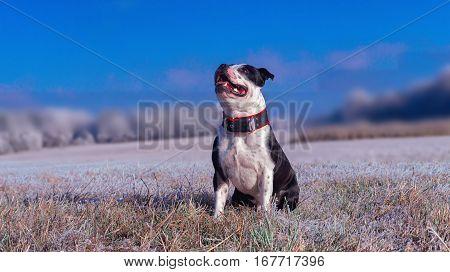 Portrait fo Staffordshire Bullterier in winter time