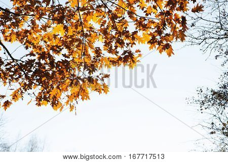 Oak autumn leaves lit by the sun. Bright sky background.