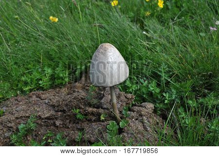 One sits on a dung fungus white
