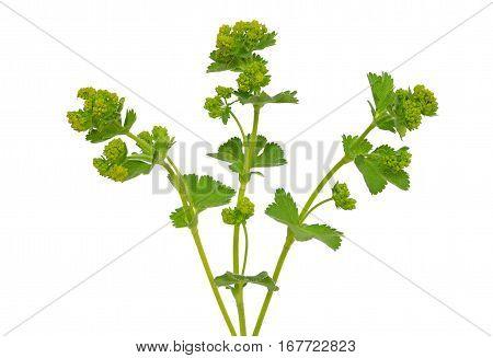 Ladys mantle herb (Alchemilla mollis) isolated on white background