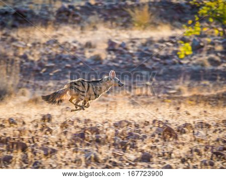 Rare nocturnal Aardwolf running or fleeing in golden afternoon light, Palmwag Conservancy, Namibia, Africa