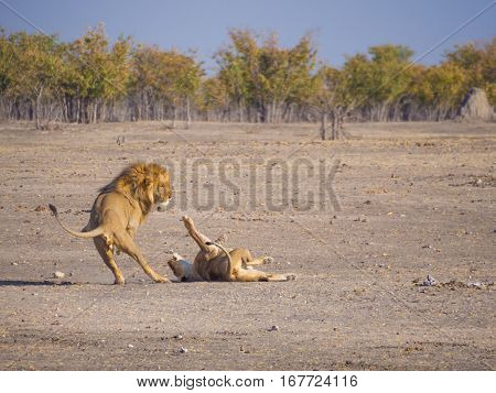 Male and female lion in a rough and action filled play with her lunging at him, Etosha National Park, Namibia, Africa