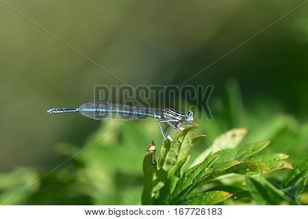 azure damselfly-coenagrion puella siting on green leaf
